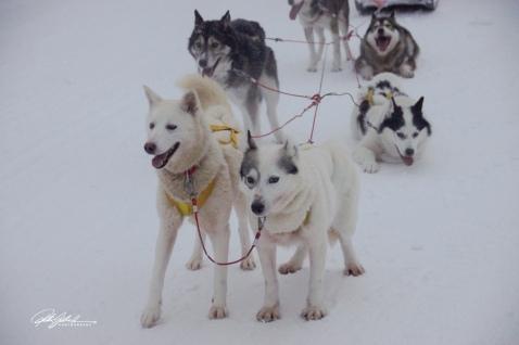 huskies-1-of-1