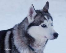 huskies-2-of-4