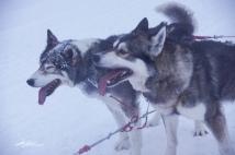 huskies-4-of-4