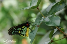 butterfly-malachite