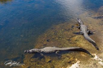 everglades-alligators-11