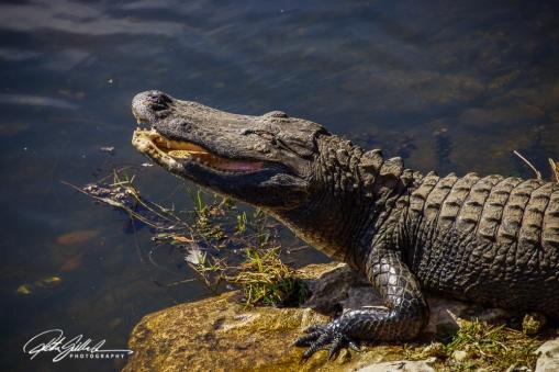 everglades-alligators-20