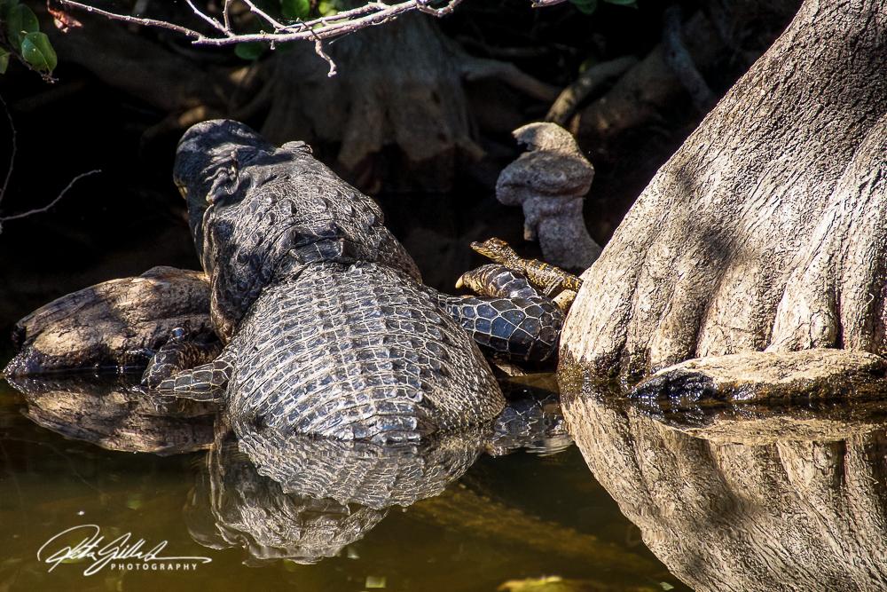 everglades-alligators-4