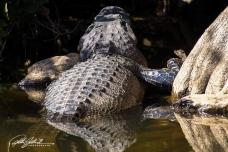 everglades-alligators-7