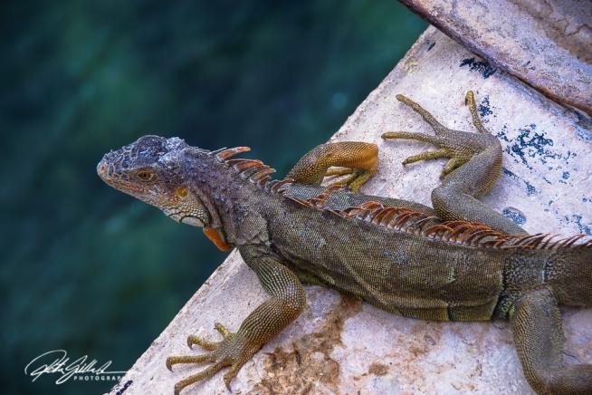 lizard-10