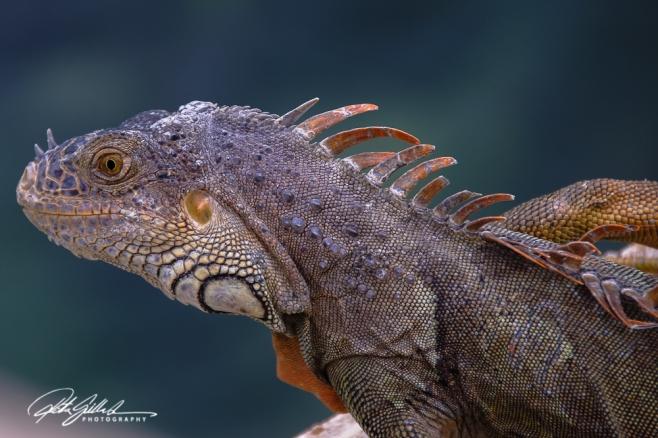 lizard-13