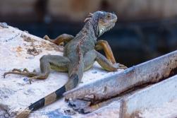 lizard-16