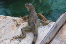 lizard-22