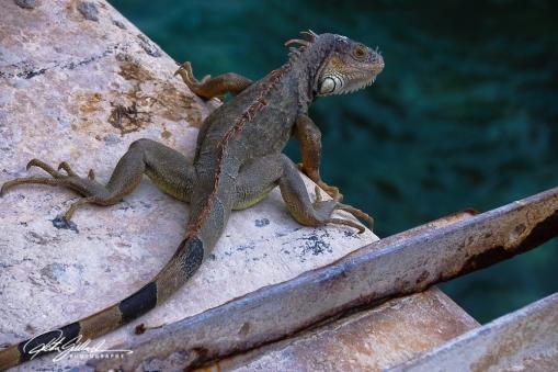 lizard-24