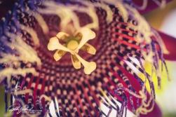 passiflora-pura-vida-1