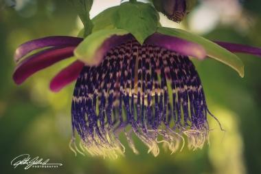 passiflora-pura-vida-2