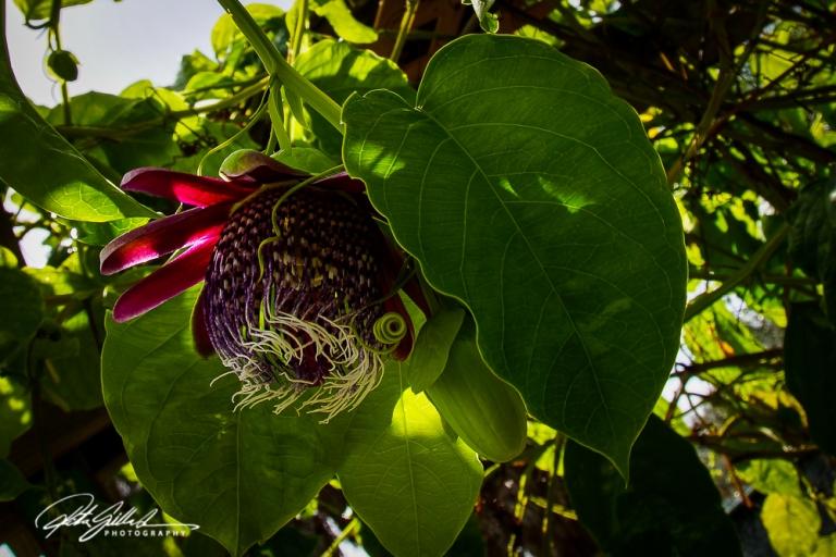 passiflora-pura-vida-4
