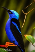red-legged-honeycreeper-1