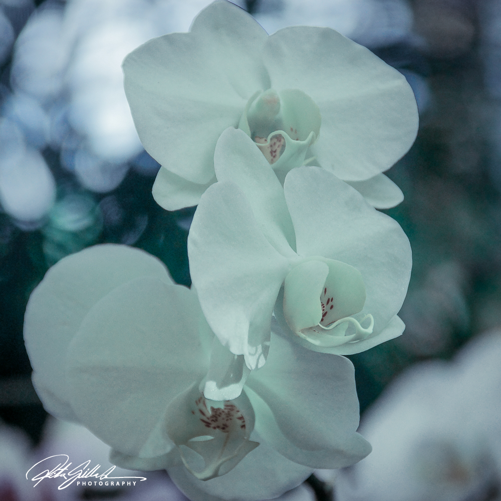 orchids (21 of 22)
