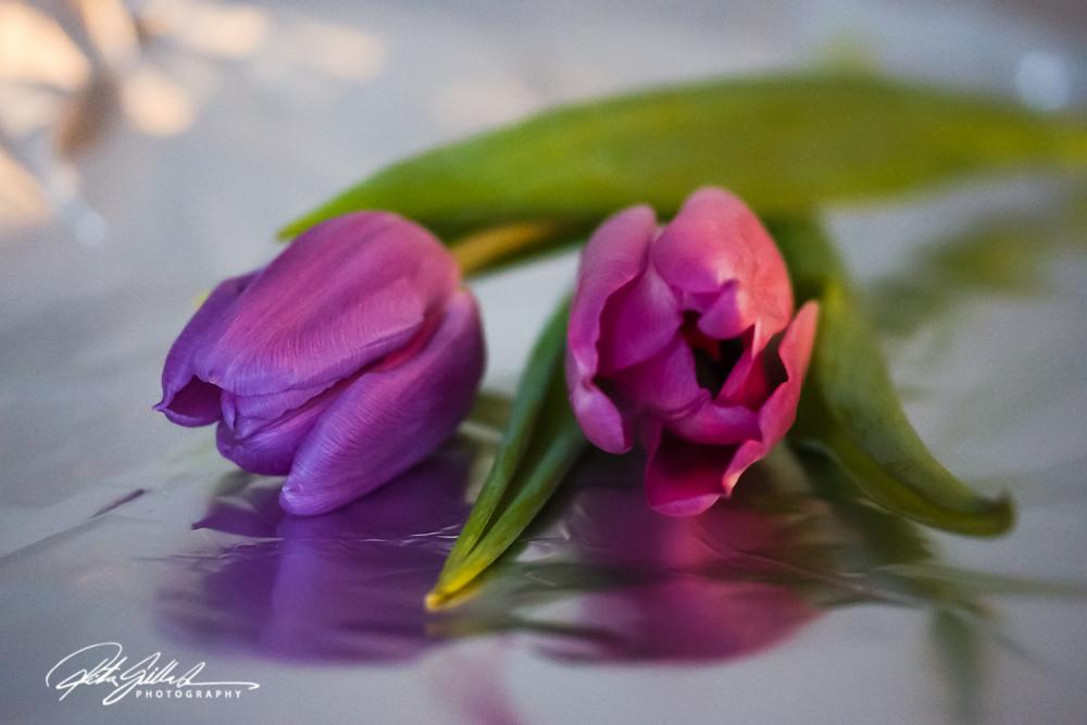 Pink tulip (16)