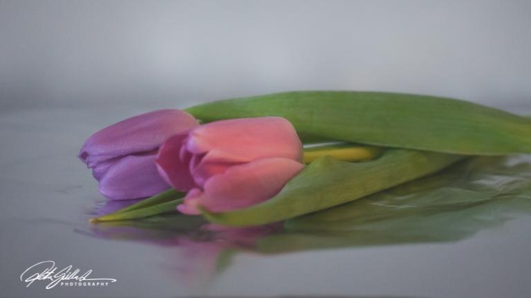 Pink tulip (17)