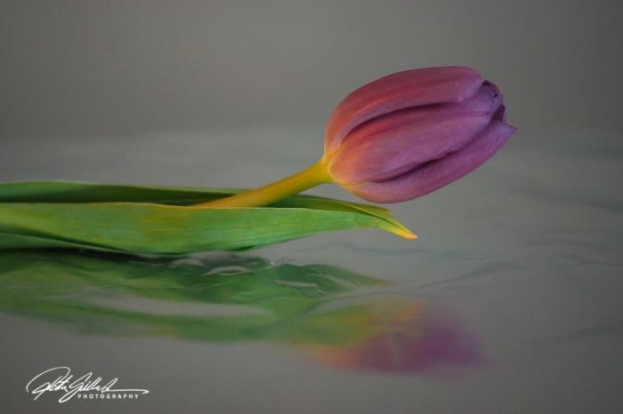 Pink tulip (25)