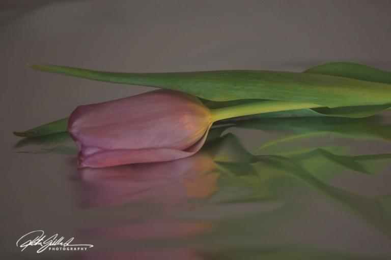 Pink tulip (3)