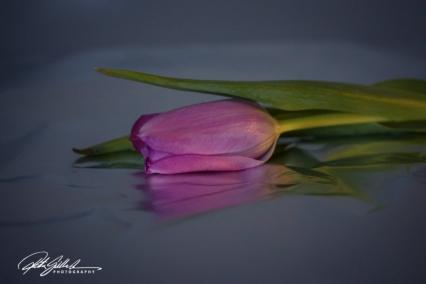 Pink tulip (4)