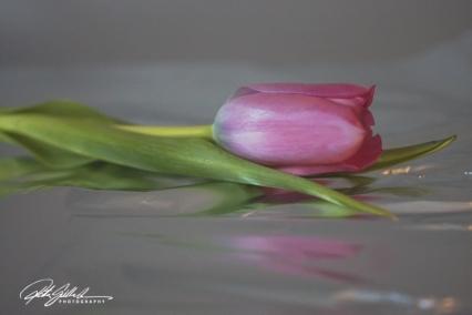 Pink tulip (5)