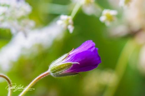 summer flowers (38 of 96)
