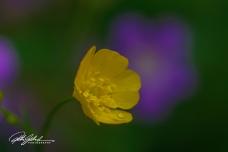 summer flowers (8 of 96)