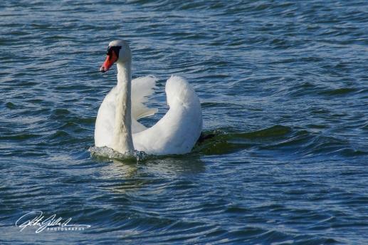 Swan-03985