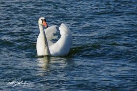 Swan-03986