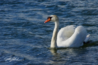 Swan-03987