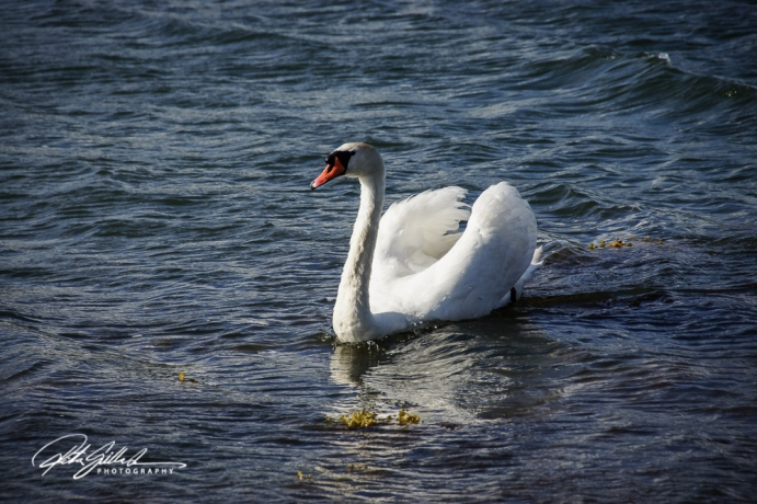 Swan-03989