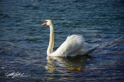 Swan-03990