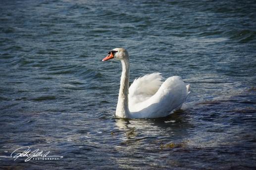 Swan-03991