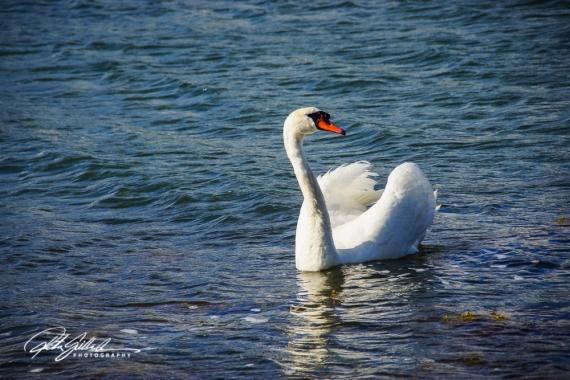 Swan-03992