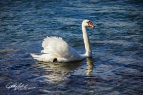 Swan-03993