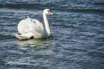 Swan-03994