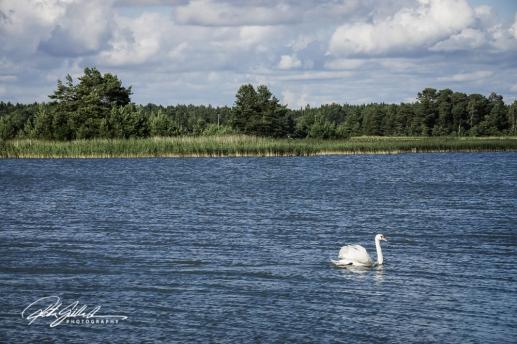 Swan-03995