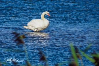Swan-03997