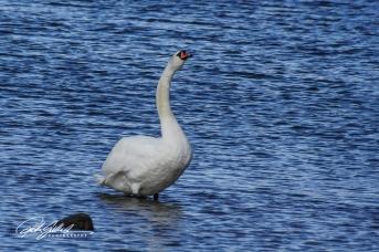 Swan-03999
