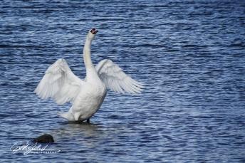Swan-04000