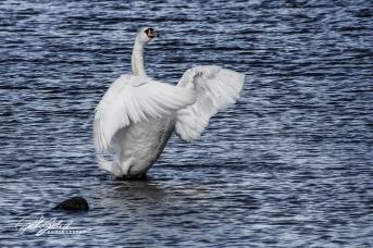 Swan-04001