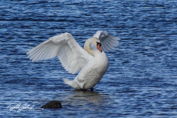 Swan-04002