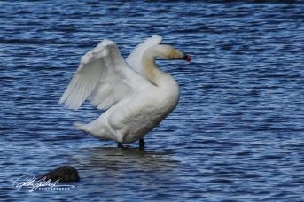 Swan-04003