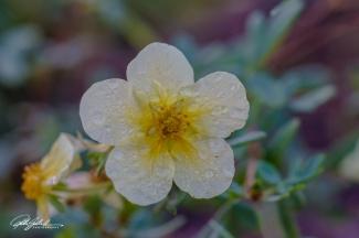 fleur-2