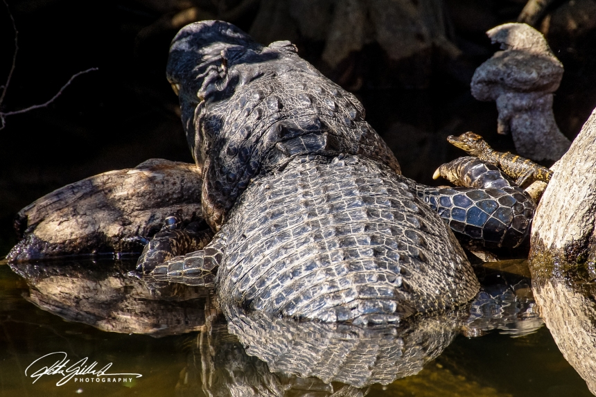 Everglades - Alligators-5