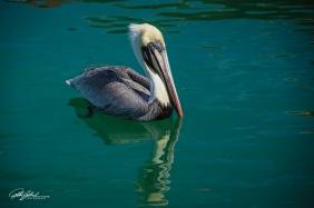 Pelican (4 of 14)