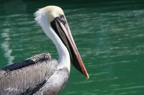 Pelican (6 of 14)