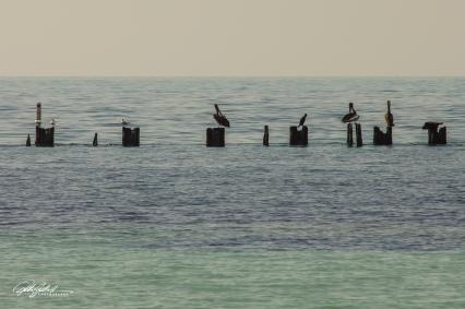 Pelican (7 of 14)