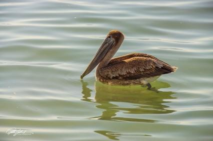 Pelican (8 of 14)