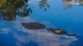 Alligator (11 of 14)