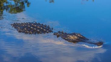 Alligator (12 of 14)